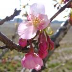 カワズザクラが咲いています。