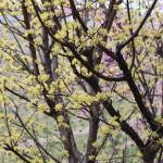 春の雨、サンシュユの向こうにカワズザクラ・・・