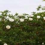 ナニワイバラが咲き始めました。
