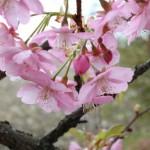 庭のサクランボの花が見頃です。