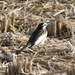 今朝の田園の鳥たち。