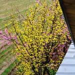 春の雨ですが黄色とピンクがきれい。