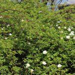 ナニワイバラ、咲き始めました。