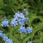 シノグロッサムの青い花。