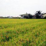 田園は黄金色の稲原が広がっています。