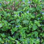 ツユクサの青い花もきれいですね。