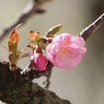 カワズザクラで春が来る。