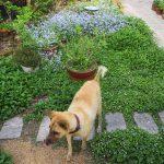 庭のタロです。