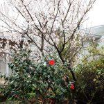 ギャラリーに桜とツバキの共演。