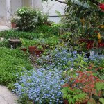 庭のワスレナグサがきれいです。